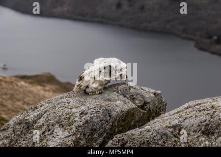 Sheep skull - Stock Image