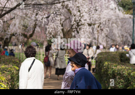 Cherry Blossoms at Kyoto Imperial Palace Gardens - Stock Image