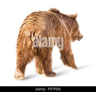 Bear isolated on white background - Stock Image