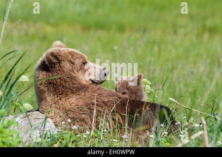 Grizzly Bear Sow, Ursus arctos, on her back, nursing her Spring Cub, Lake Clark National Park, Alaska, USA - Stock Image