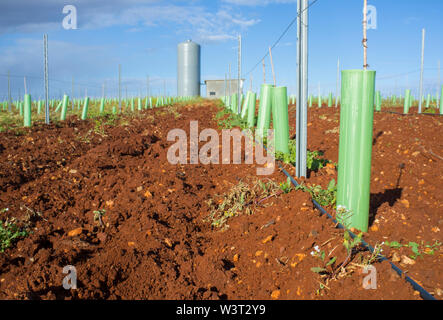 Grapevines irrigated with dripping system. Pipes, water tank and pumping station visible - Stock Image