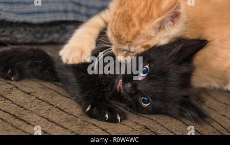 Playful black and ginger kitty. Domestic cats 8 weeks old. Felis silvestris catus. Two kittens playing in bed. Little furry pet. Paw and small claws. - Stock Image