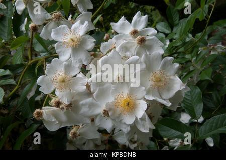 Old-style single rose bloom at Lavandula Swiss Italian Farm, near Hepburn Springs, a popular weekend destination - Stock Image