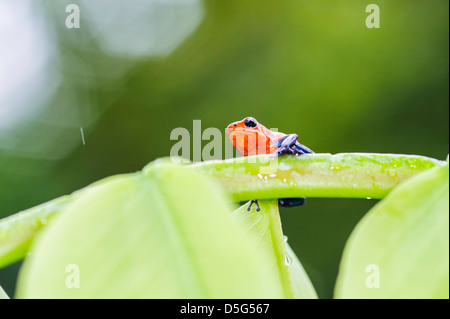 A strawberry poison-dart Frog on a leaf during a rain shower in the rainforest of the Cano Negro area in Costa Rica. - Stock Image