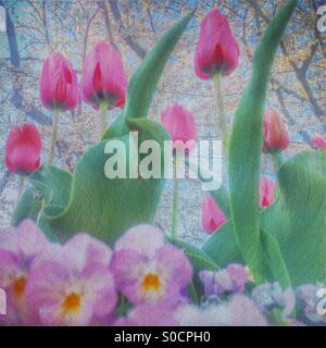 Purple pansies, pink tulips and white cherry blossoms in Spring, with painterly texture overlay. - Stock Image