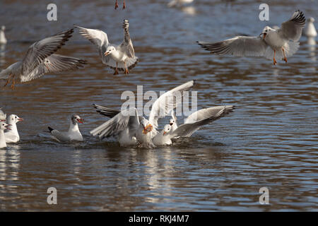 seagull flying away after squabble for piece of pizza - Stock Image