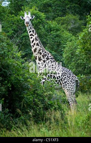 Semi albino Giraffe Giraffa camelopardalis Saadani Tanzania Africa - Stock Image