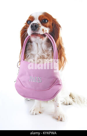 Dog holding souvenir bag on isolated white background. Dog with French souvenir from Paris. Cute trained pets dogs - Stock Image