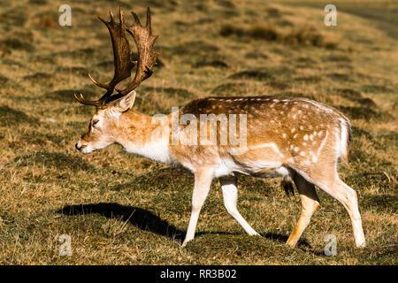 Fallow Deer stag walking at Knole Park, Kent, UK - Stock Image