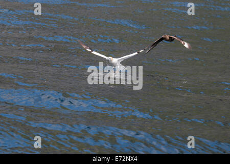 Gannets being mobbed by Great skuas on St Kilda - Stock Image