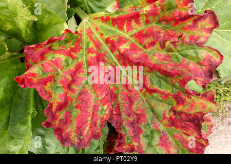 Colourful red and green Rhubarb plant leaf in Autumn, Derbyshire, England, UK - Stock Image