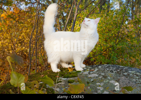 Maine coon cat outdoors in autumn - Stock Image