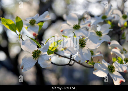 Close up of a branch of white dogwood tree flowers in dappled sunlight on a day in early spring - Stock Image