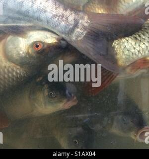 Overcrowded fish tank - Stock Image