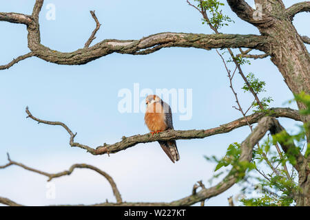 Male red-footed falcon (Falco vespertinus) percing on a branch, Koros-Maros National Park, Bekes County, Hungary - Stock Image