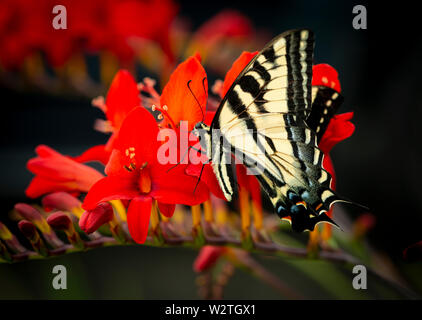 A Western Tiger Swallowtail (Papilio rutulus) on a red lucifer flower with a dark natural background - Stock Image