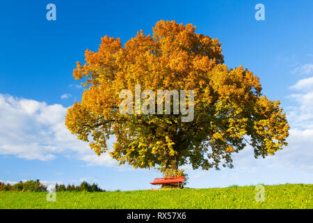 botany, lime and bench, Zuercher Oberland (Zurich highlands), Switzerland, Additional-Rights-Clearance-Info-Not-Available - Stock Image