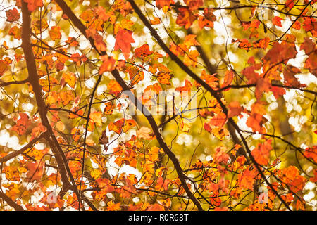 Maple trees showing their fall colors, Pennsylvania Dutch Country, Lancaster County, Pennsylvania, USA - Stock Image