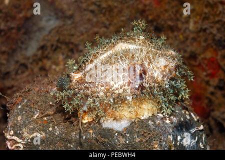 Miliaris Cowry, or Miliaris Cowrie, Naria miliaris. Sitting on eggs. Previously described as Cypraea miliaris. Tulamben, Bali, Indonesia. Bali Sea - Stock Image