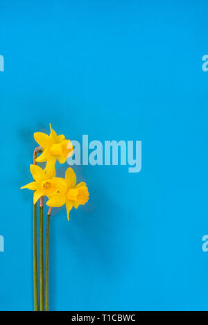 Narcissus Tete a Tete overhead on a blue background.With copy space. - Stock Image