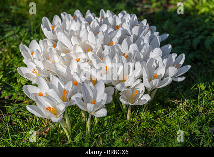 White flowering Crocus sativus Regents Park London UK - Stock Image