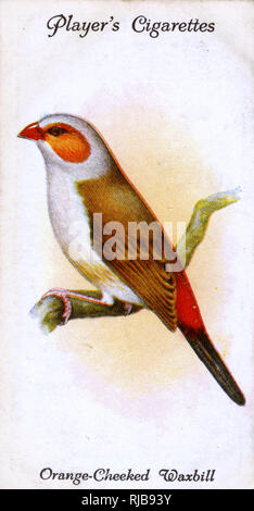 Orange-Cheeked Waxbill. - Stock Image