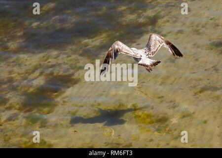 Lonely flight of a wild bird takes place just above the waters of the Baltic Sea, which was observed next to the shore in Kolobrzeg, Poland. - Stock Image