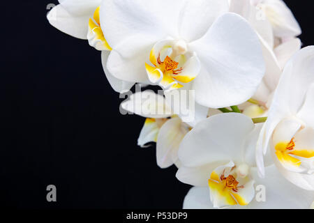 White Orchid on a black background with space for text. - Stock Image