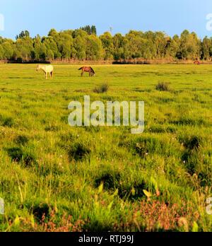 Horses pasture on the grass, Issyk Kul oblast, Kyrgyzstan - Stock Image