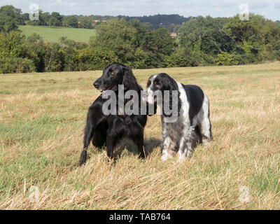 springer spaniel, 10 year old male & flat coated retriever, 7 year old female, standing on Farthing Down, Coulsdon, Surrey - Stock Image