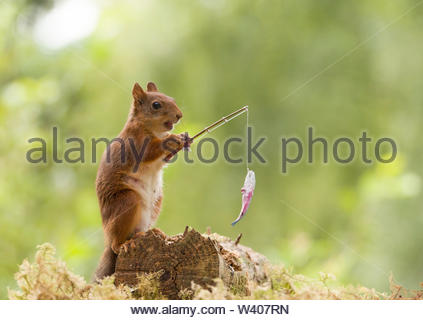 red squirrel with an fish on an rod - Stock Image