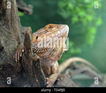 A bearded dragon at the Tropical Wings Zoo, Chelmsford, Essex, UK. This zoo closed in December 2017. - Stock Image