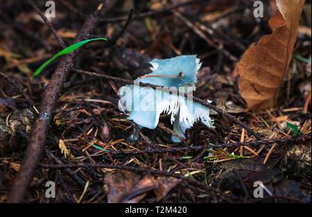 A blue roundhead mushroom (Stropharia caerulea) beginning to decompose in Nesscliffe, Shropshire, England. - Stock Image