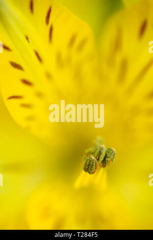 Close up of Yellow Alstromeria or Peruvian lily flower with stamen and tepals - Stock Image