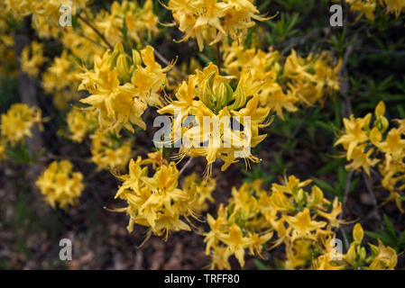 Bright yellow azalea flowering in the Cairngorms National Park, Scotland, UK. - Stock Image