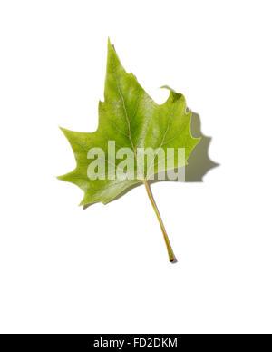 A fallen deciduous green tree leaf. - Stock Image