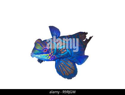 Colorful Mandarin fish ( Synchiropus splendidus) in coral rubble. Lembeh Straits, Indonesia. - Stock Image