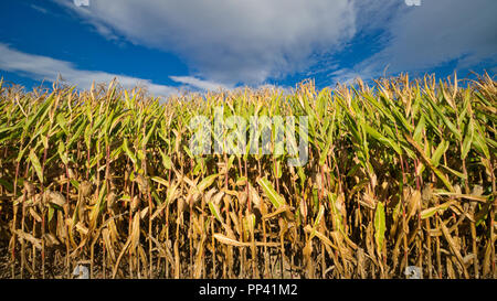 Corn field in the late summer - Stock Image