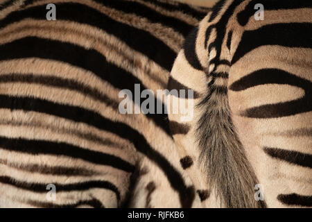 The stripes of a Zebra provide disruptive camouflage in the wild. - Stock Image