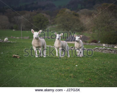 Cumbria, UK. 25th Apr, 2017. Overcast day in Cumbria. Three Spring lambs looking cheerful despite the return to - Stock Image