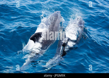 Common Bottlenose Dolphin (Tursiops truncates) surfacing next to the dolphin watching boat in the Strait of Gibraltar - Stock Image