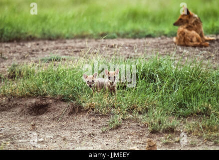 male Indian Jackal, (Canis aureus indicus), with two cubs near den, Blackbuck National Park, Velavadar, Gujarat, - Stock Image