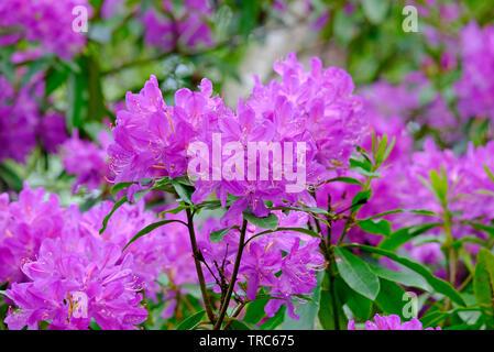 pink flowering rhododendron flowers, pretty corner, sheringham, north norfolk, england - Stock Image