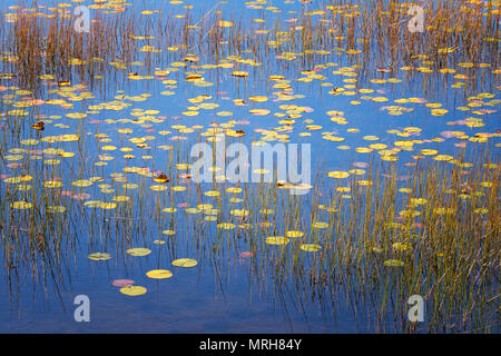 Reeds, lily pads and reflected blue sky in a pong in Acadia National Park - Stock Image