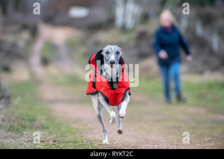 Whippet dog wearing a red winter jacket. - Stock Image