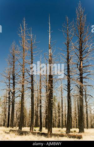 Burnt Forest of Jeffrey Pines near Mono Lake Lee Vining California - Stock Image