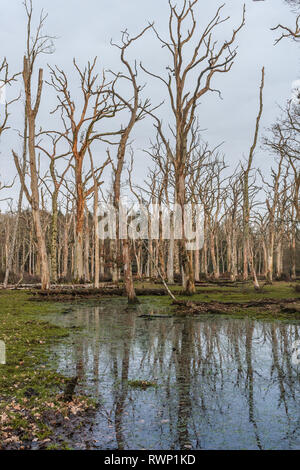 Dead oak tree forest on flooded land/ floodplain in the New Forest National Park, Hampshire, England, UK - Stock Image