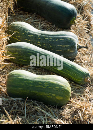 Green  pumpkin group - Stock Image