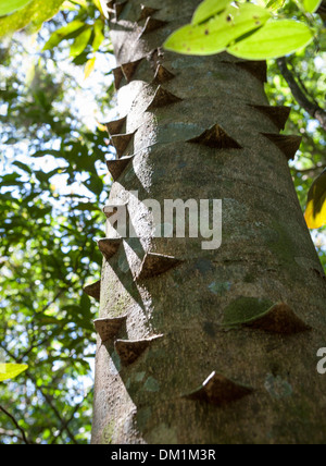 The Hercules Club tree, also known as the Devil's Walking Stick, or Prickly Ash, is a species of tree, native to North America. - Stock Image