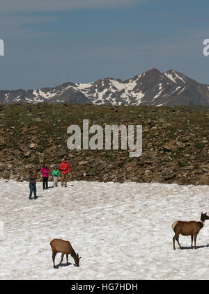tourists looking at Bull elk on tundra and snow field Rocky Mountain National Park - Stock Image